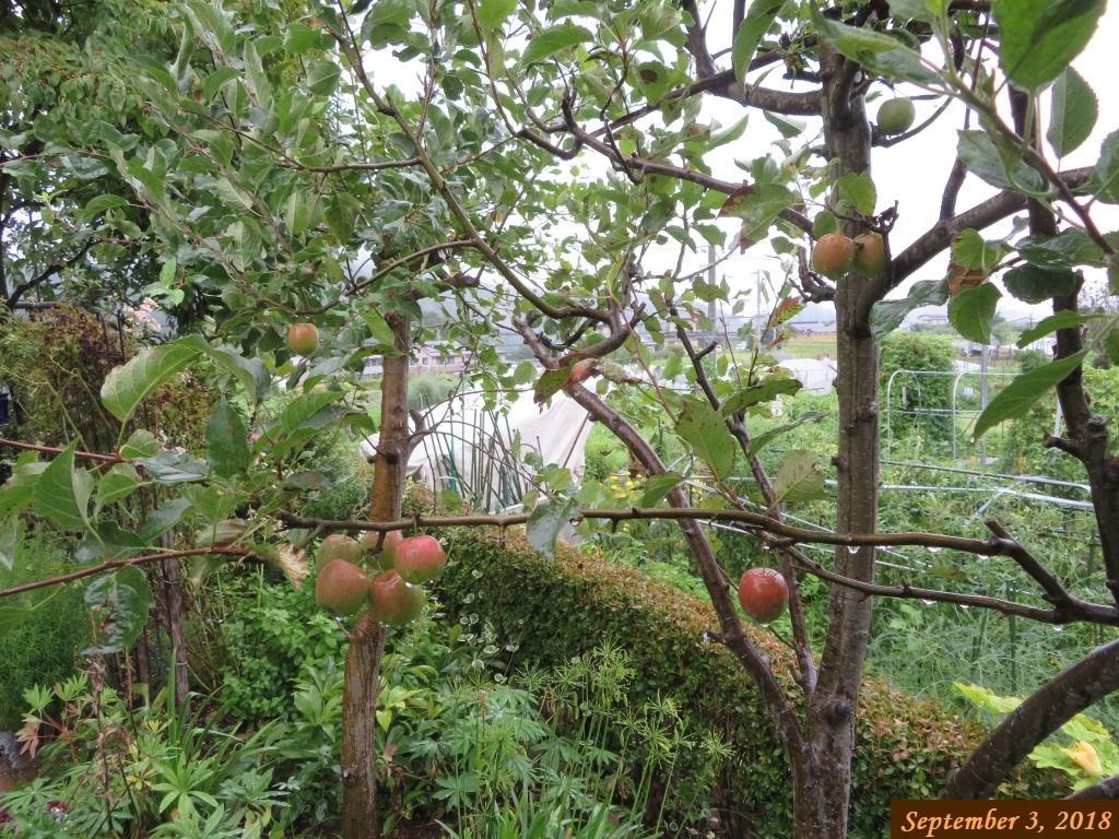 画像7(姫リンゴ)