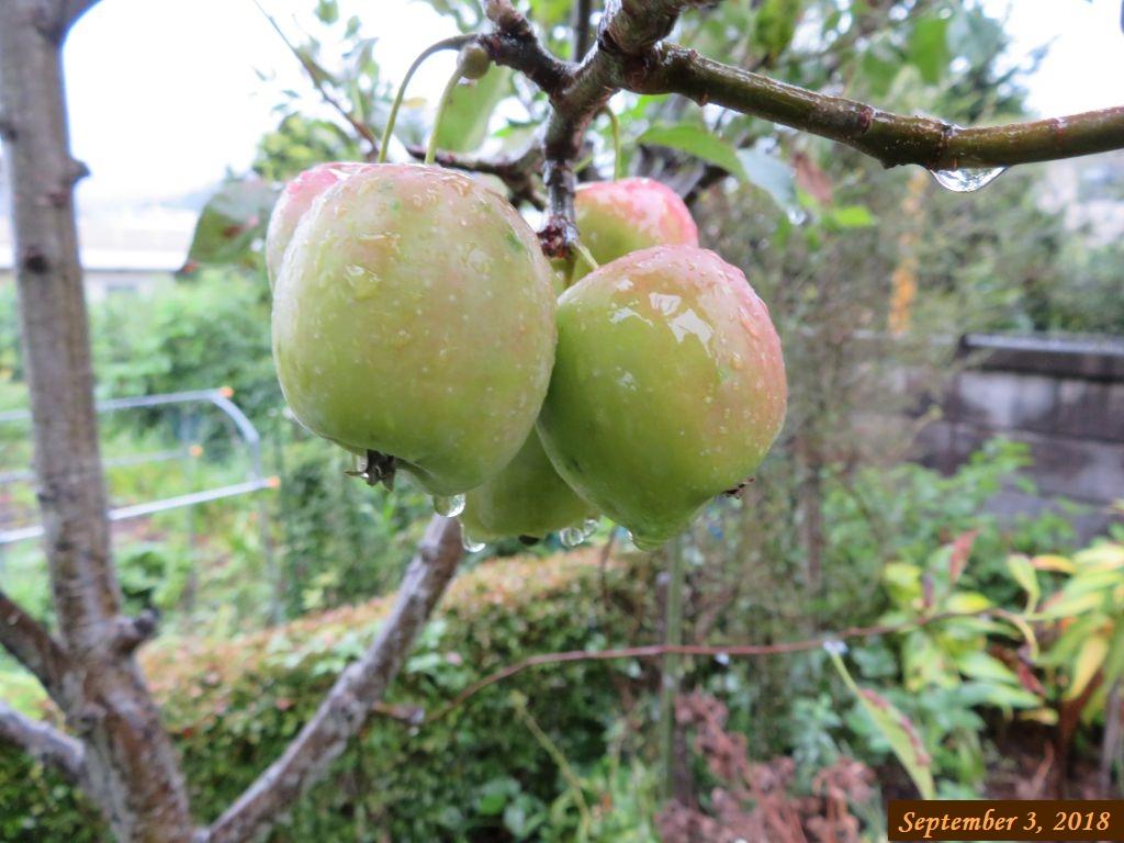 画像8(姫リンゴ)