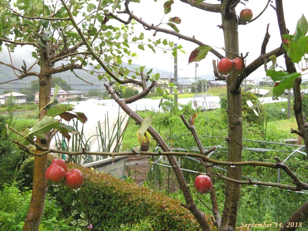 画像2(姫リンゴ)