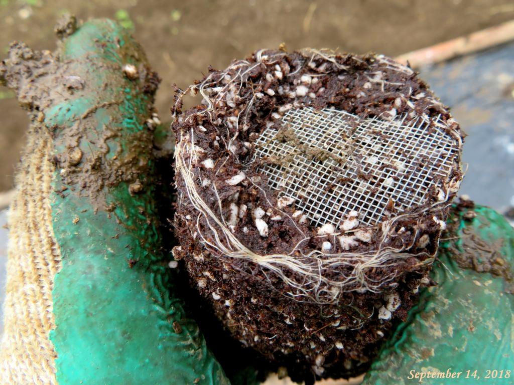 画像6(白菜の根鉢)
