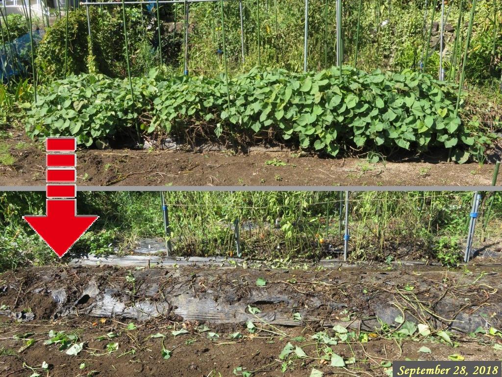 画像2(サツマイモの蔓の刈り取り)