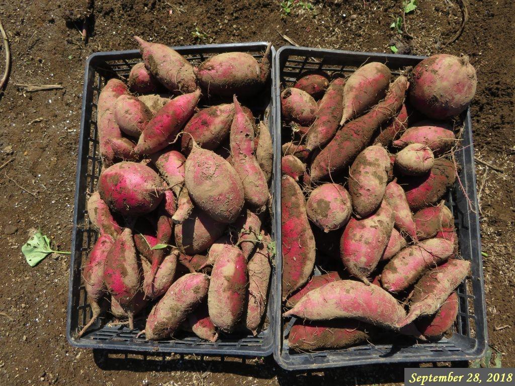 画像5(掘り出したサツマイモ)