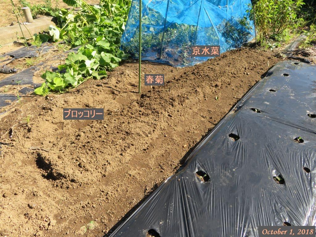 画像12(京水菜・春菊・ブロッコリーの播種)