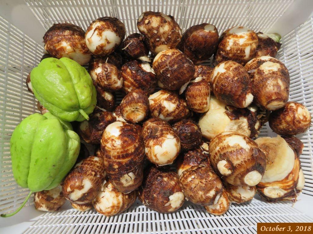 画像13(初収穫の里芋とハヤトウリ)