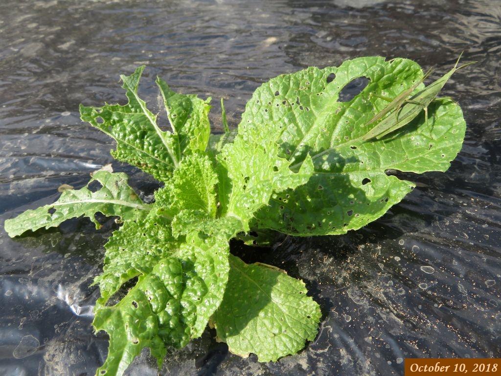 画像4(白菜の葉にオンブバッタ)