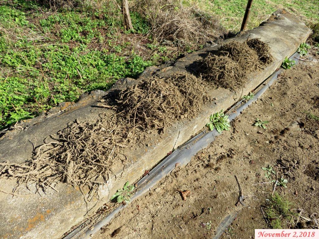 画像6(取り除いたヤブガラシの地茎)