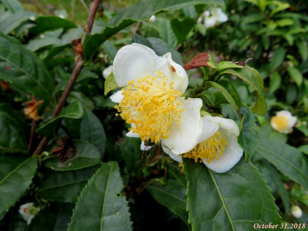 画像23(茶木の花)