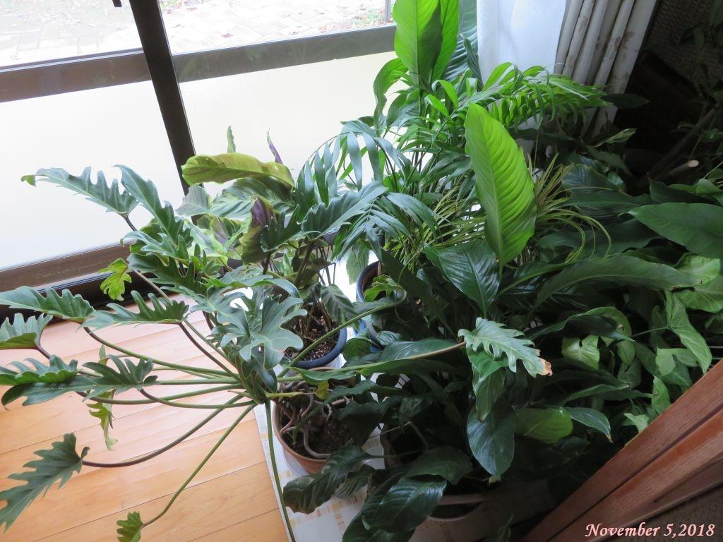 画像8(室内に入れた観葉植物)