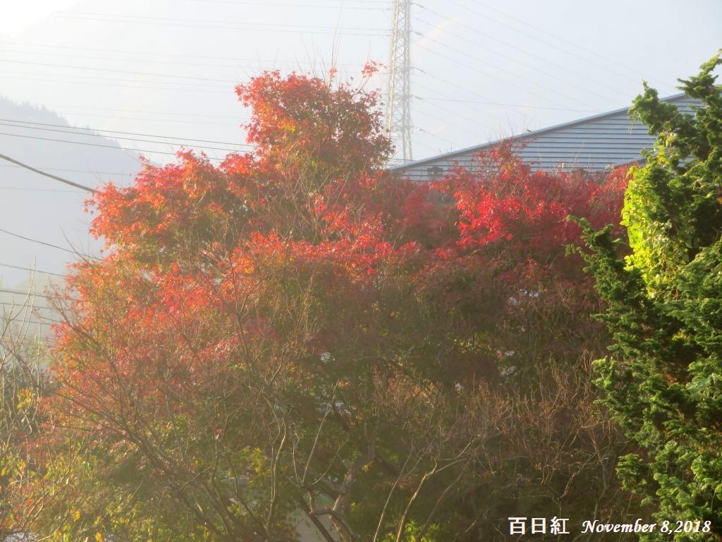 画像2(百日紅)