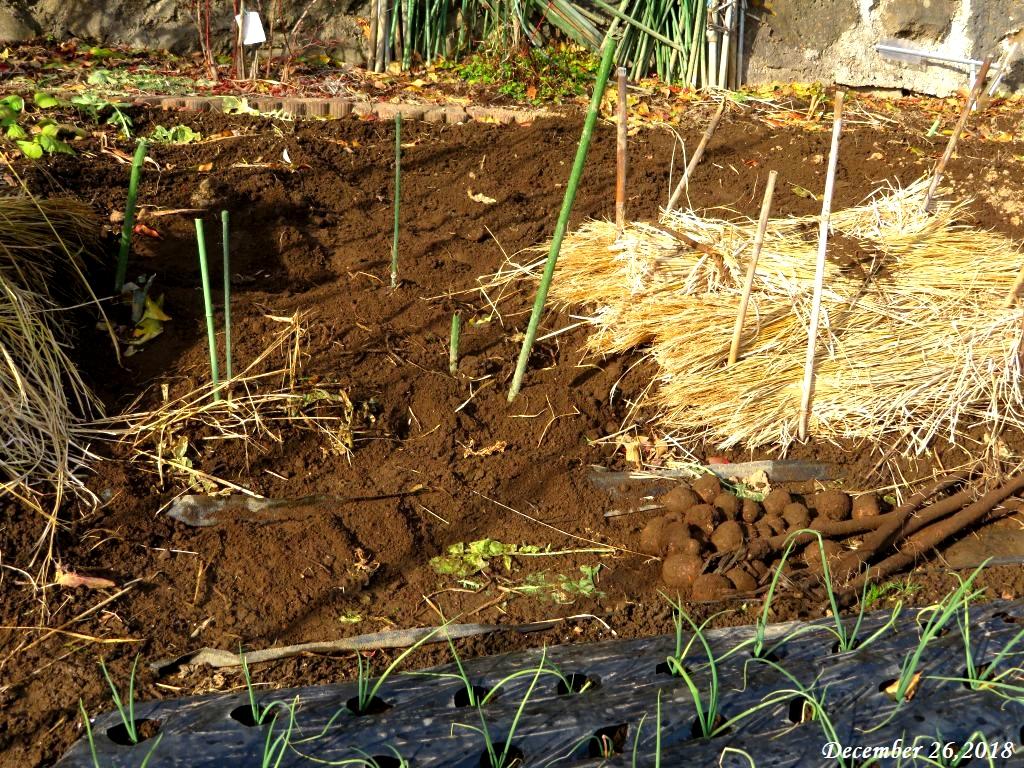画像4(掘り出した里芋とゴボウ)