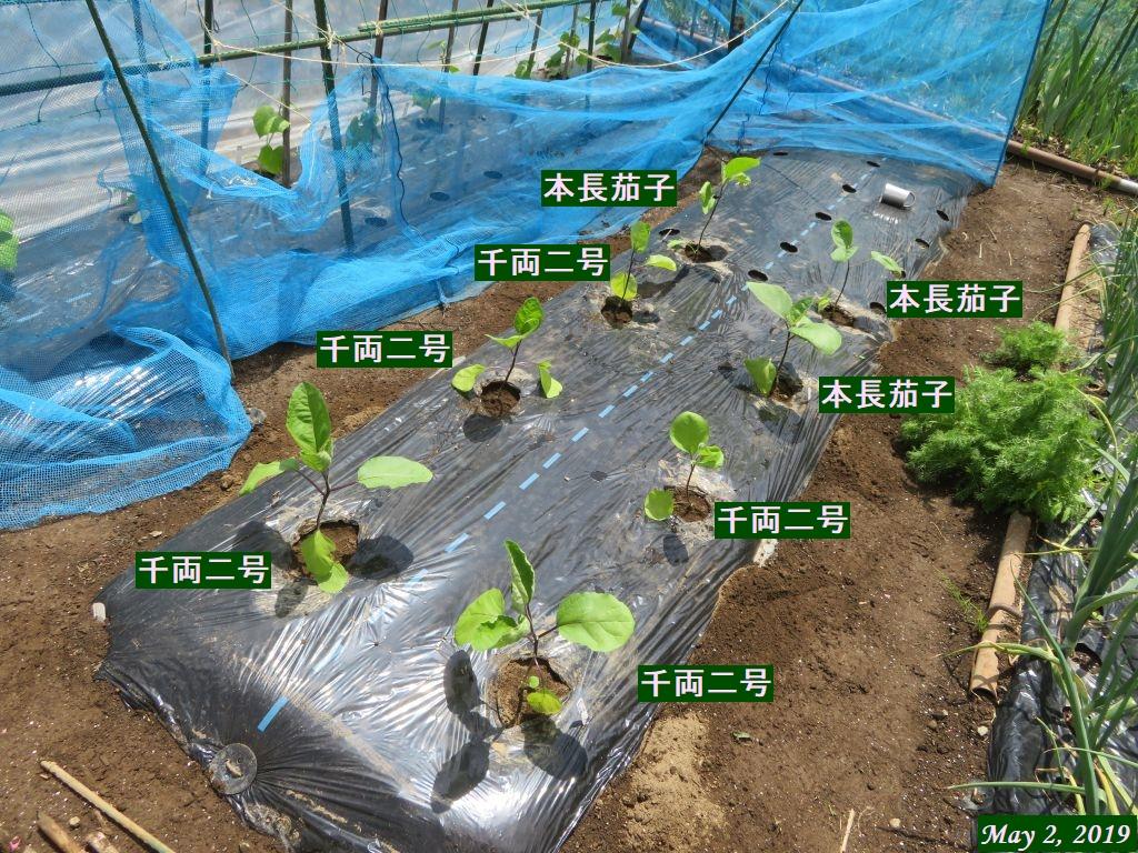 画像6(茄子の定植)