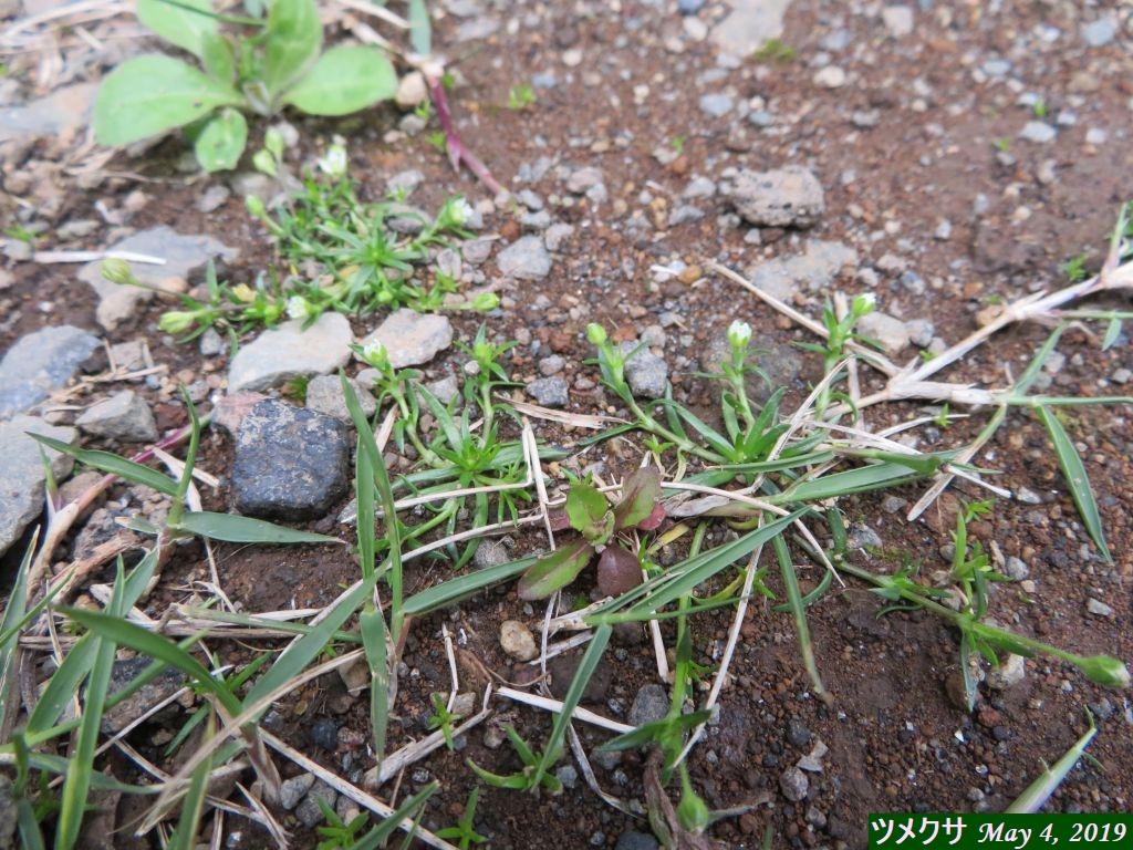 画像2(芝生の雑草「ツメクサ」)