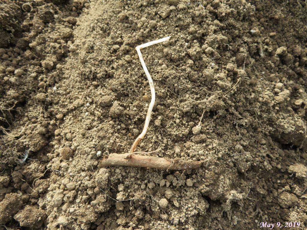 画像18(ヤブガラシの地茎と芽)