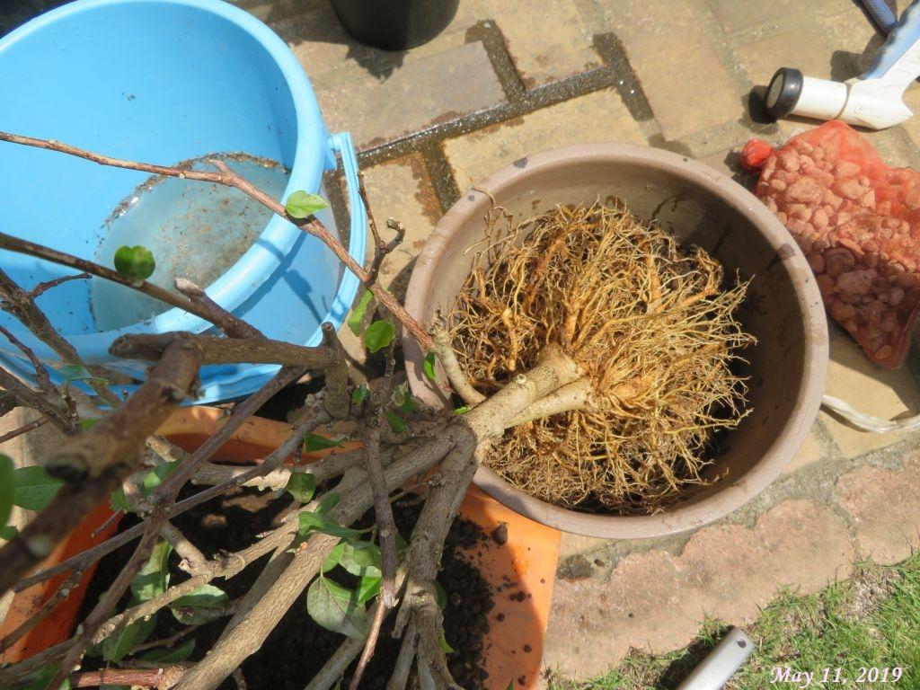 画像11(洗い流したハイビスカスの根)