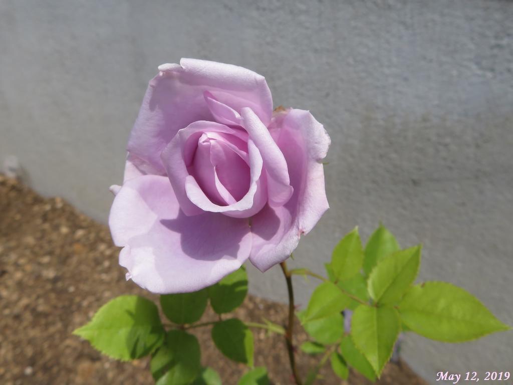 画像2(バラ「ブルームーン」)