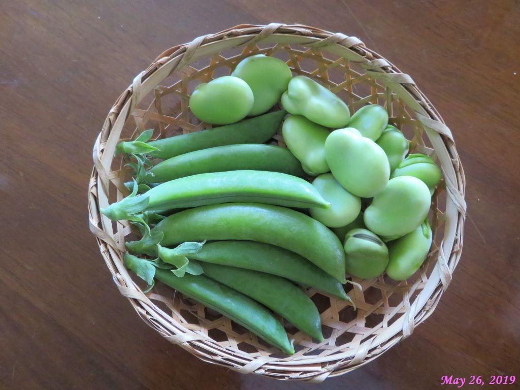 画像16(収穫したスナップインゲンとそら豆)