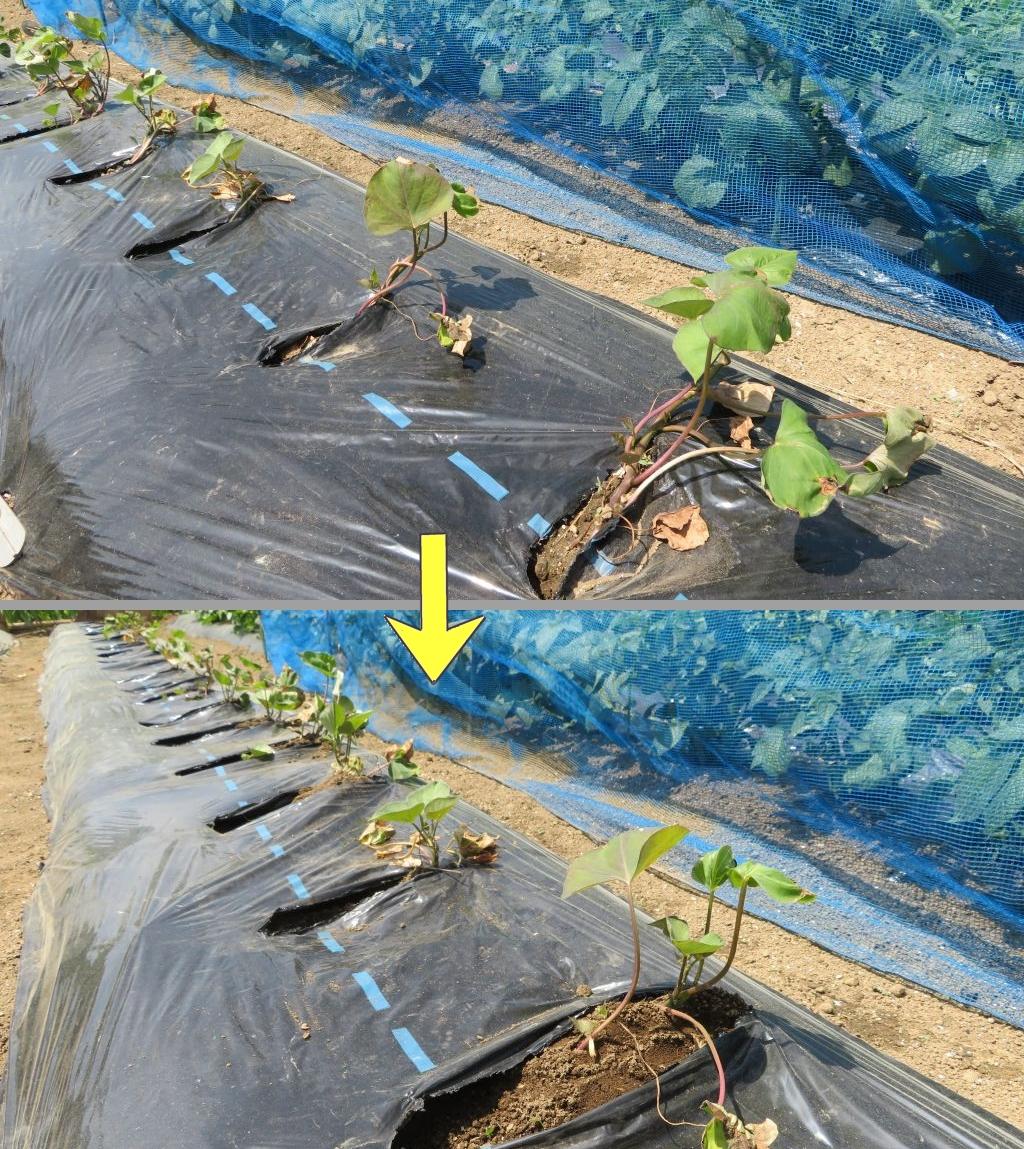 画像11(サツマイモの植え直し)