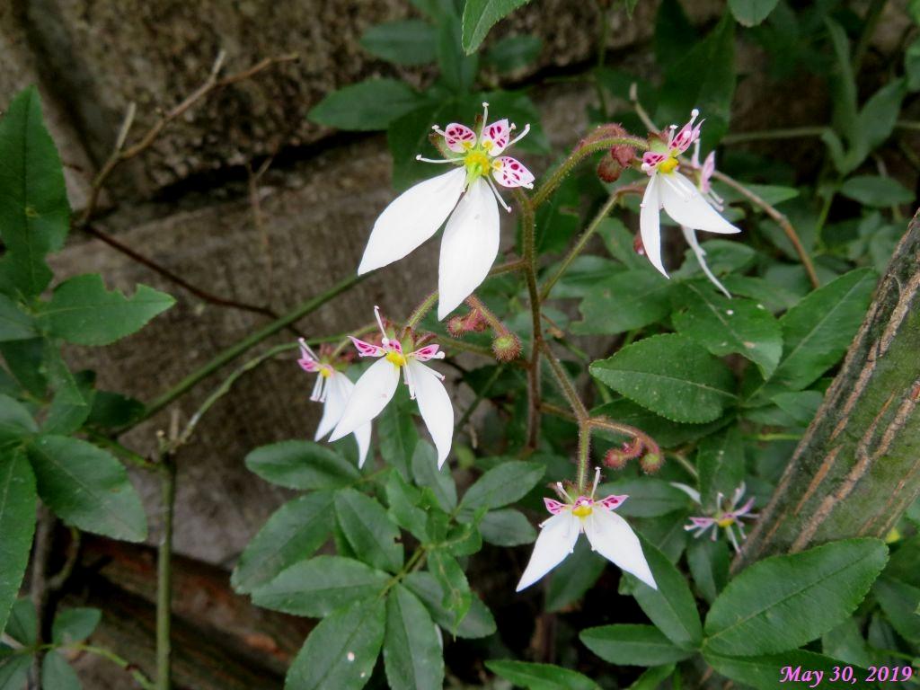 画像1(ユキノシタの花)