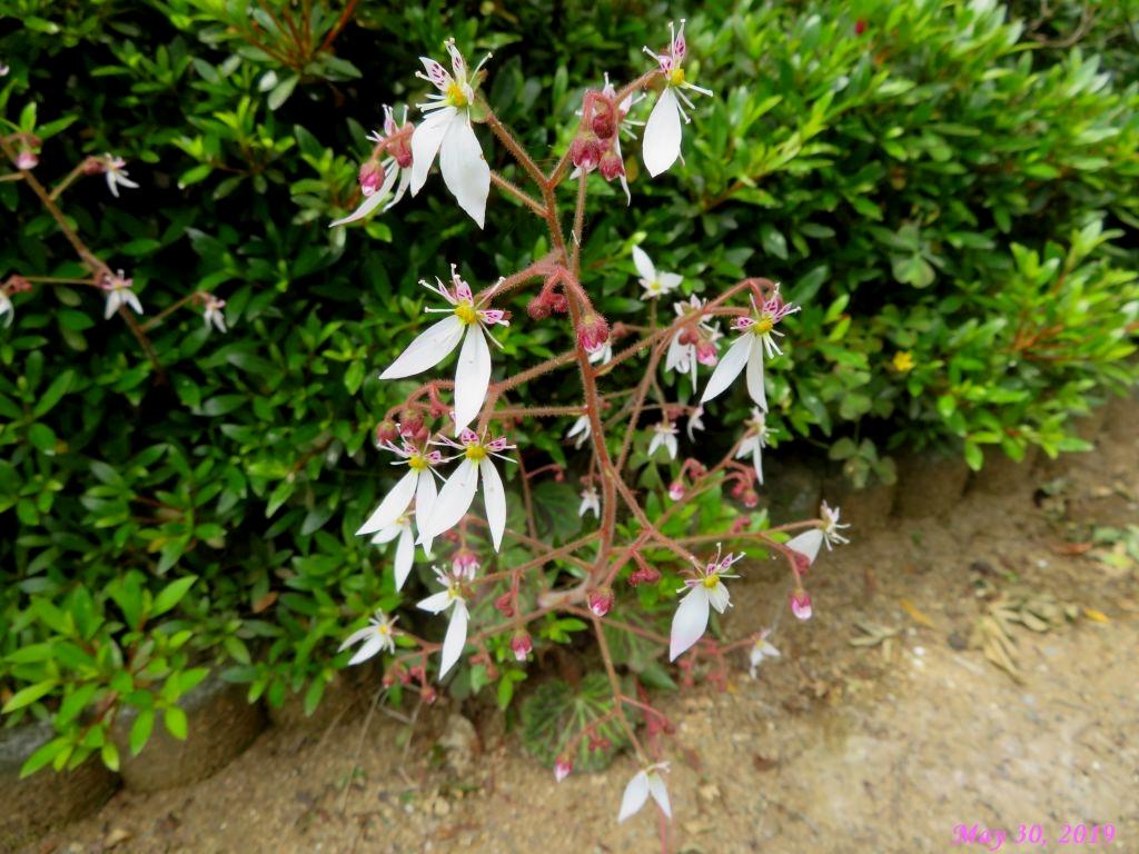 画像2(ユキノシタの花)