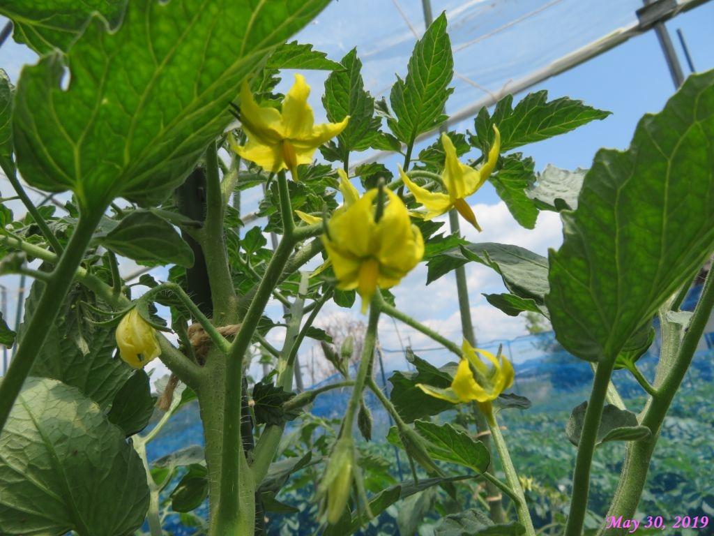 画像11(トマトの花)
