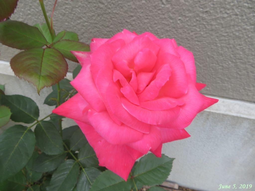 画像8(真っ赤な大輪のバラ)