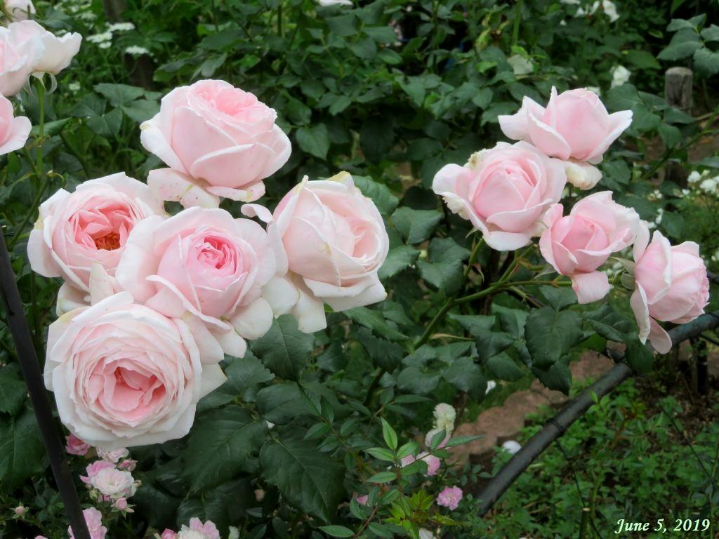 画像9(ピンクのバラ)