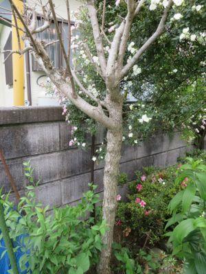 画像10(枯れたライラックの木)