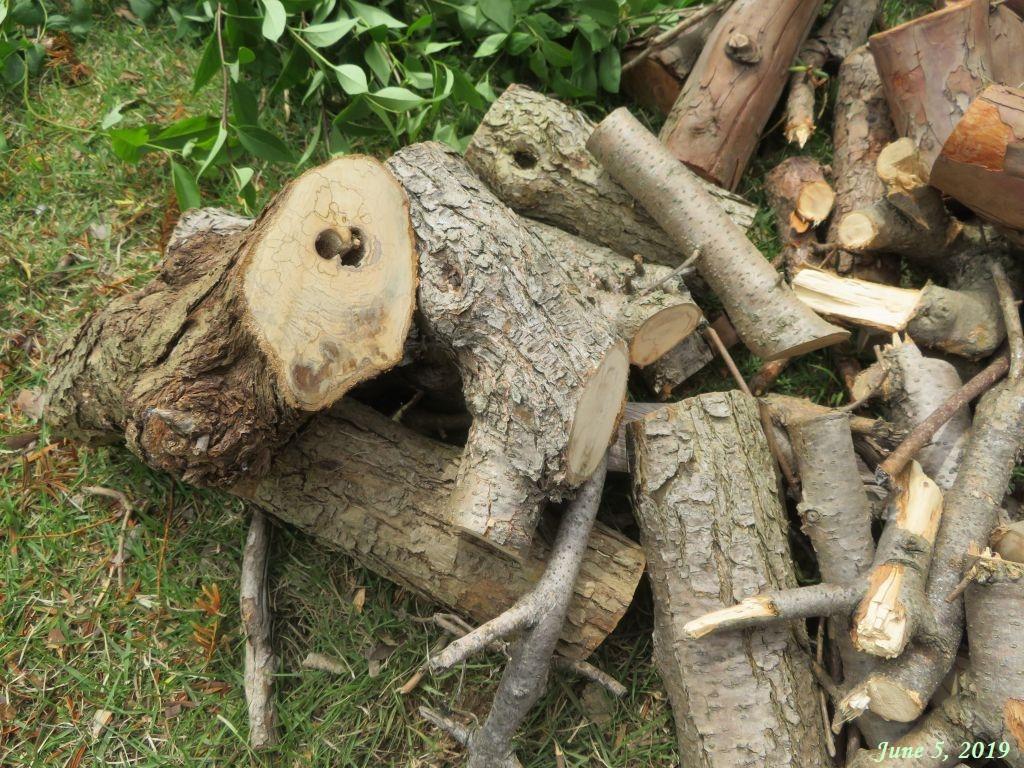 画像11(伐採したライラックの木)