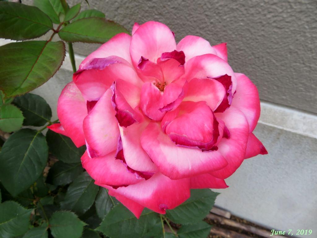 画像3(真っ赤なバラから白混じりのバラへ)