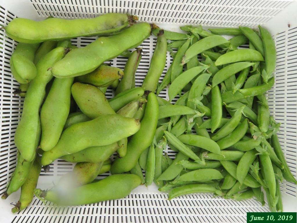 画像4(収穫したそら豆とスナップエンドウ)