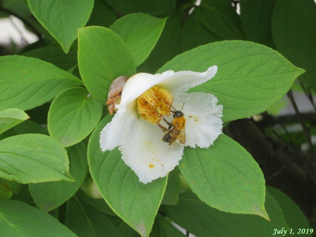 画像2(夏椿と蜂)