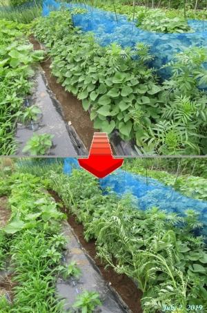 画像11(サツマイモの畝にマリーゴールド移植)