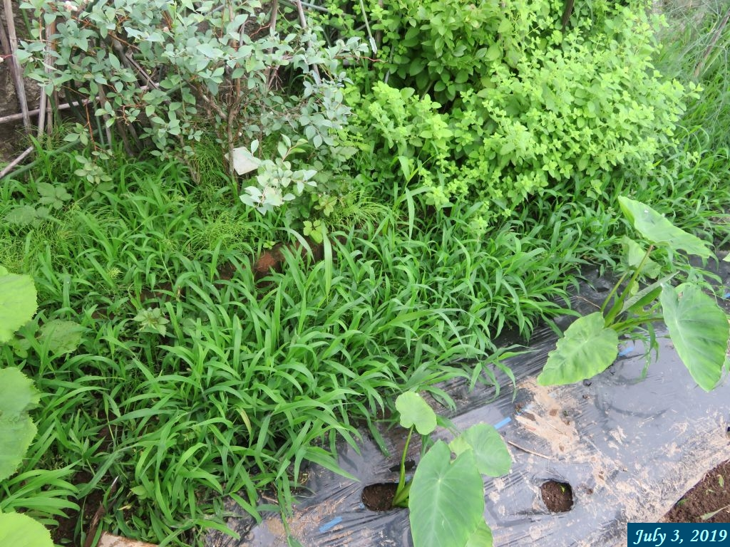 画像9(里芋の畝と石垣の間の草)