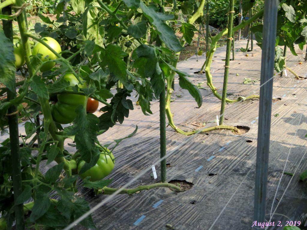 画像10(トマトの蔓おろし)