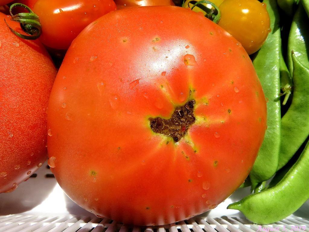 画像7(トマト「麗夏」の食み跡)