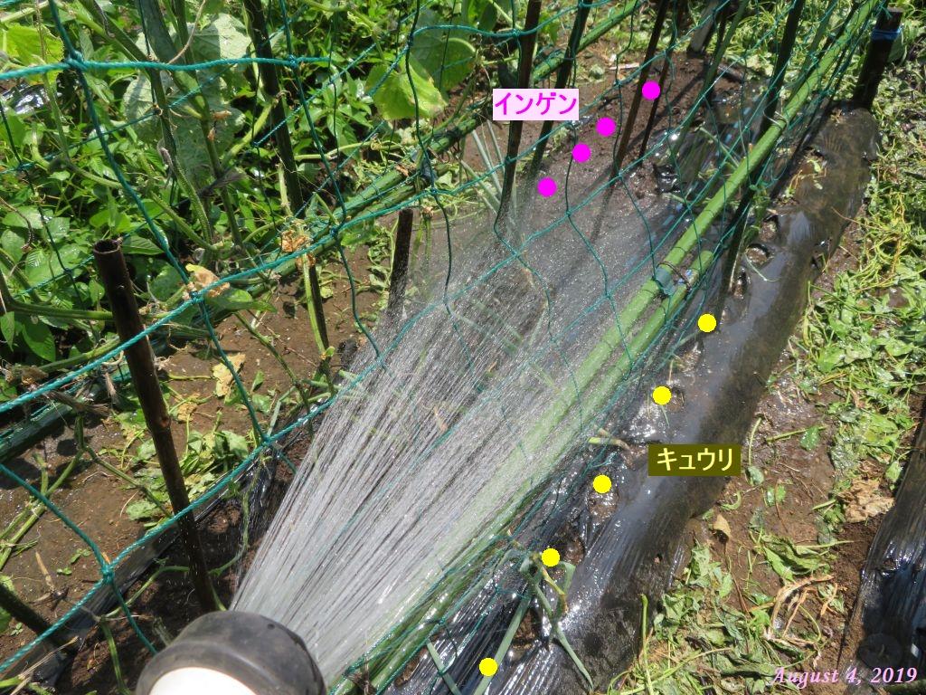 画像10(3回目播種のキュウリ・インゲン 水やり)