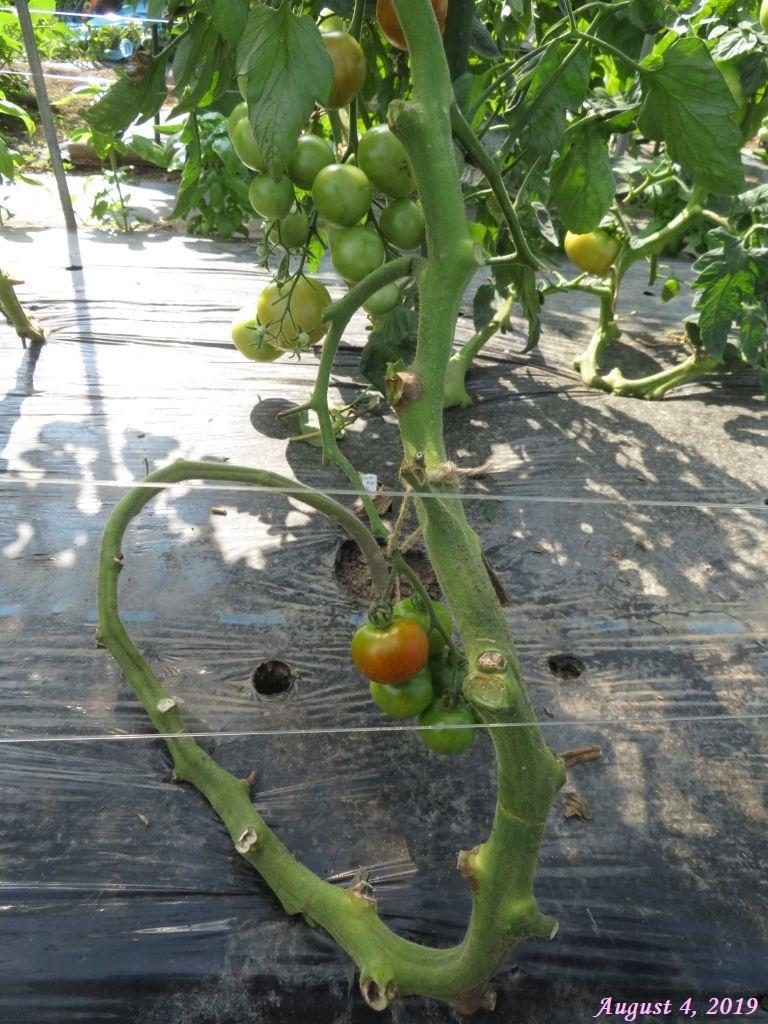 画像13(トマトの蔓下ろし)