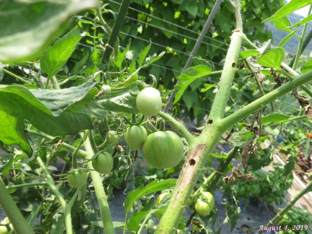 画像17(虫に入られたトマトの蔓)