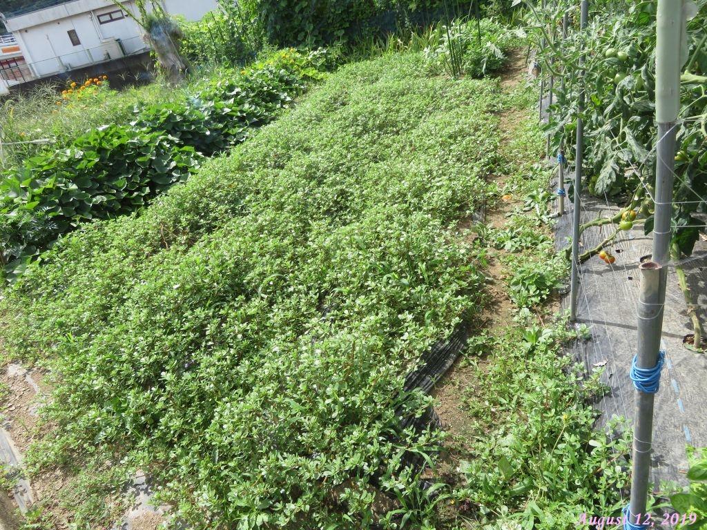 画像6(ジャガイモの跡地のスベリヒユ)