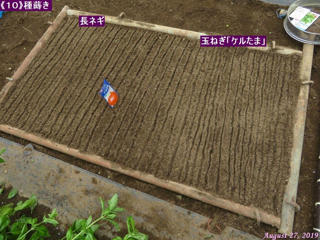 画像11(ケルたま播種)