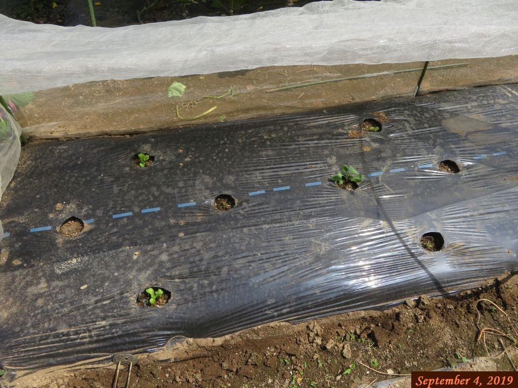 画像4(虫に食べられたキャベツとレタス)