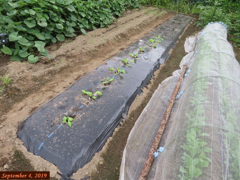 画像8(白菜の植え付け)