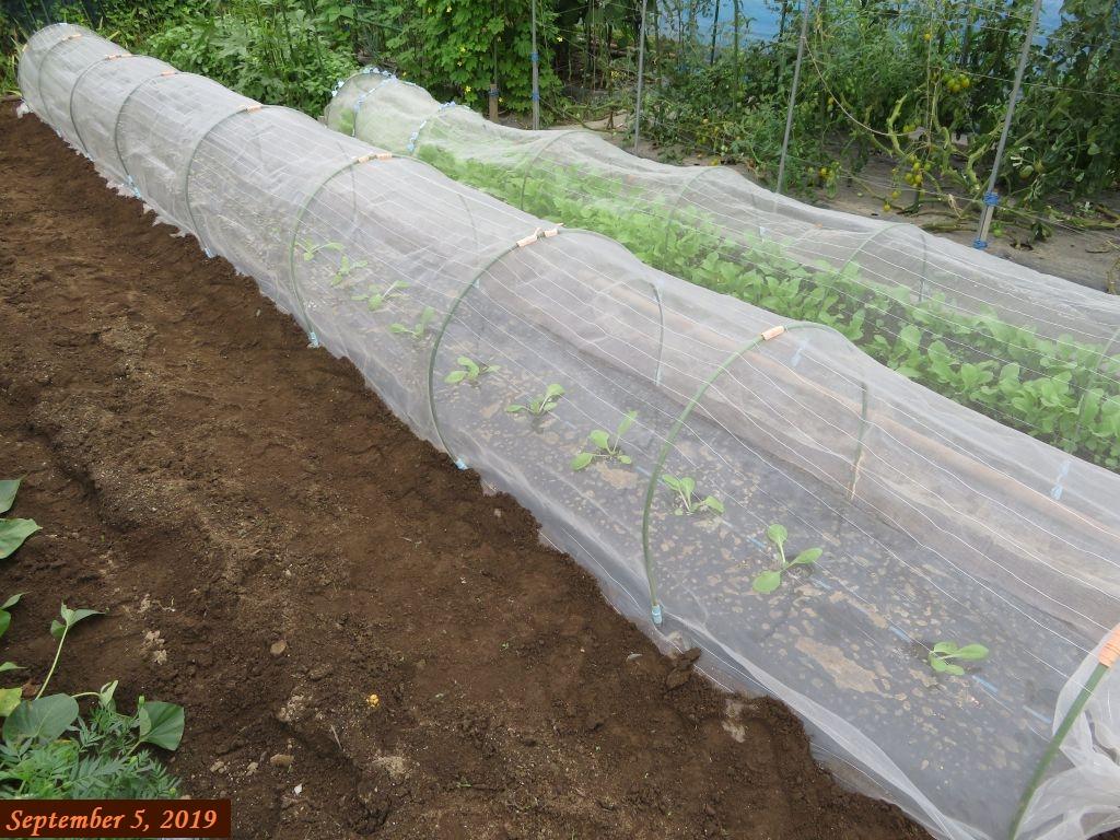 画像7(白菜のトンネル)