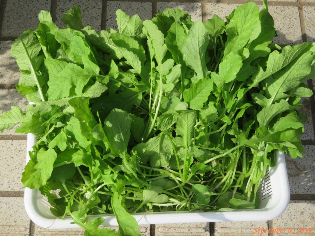 画像3(大根の間引き菜)