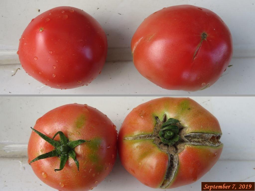 画像7(トマトの比較)