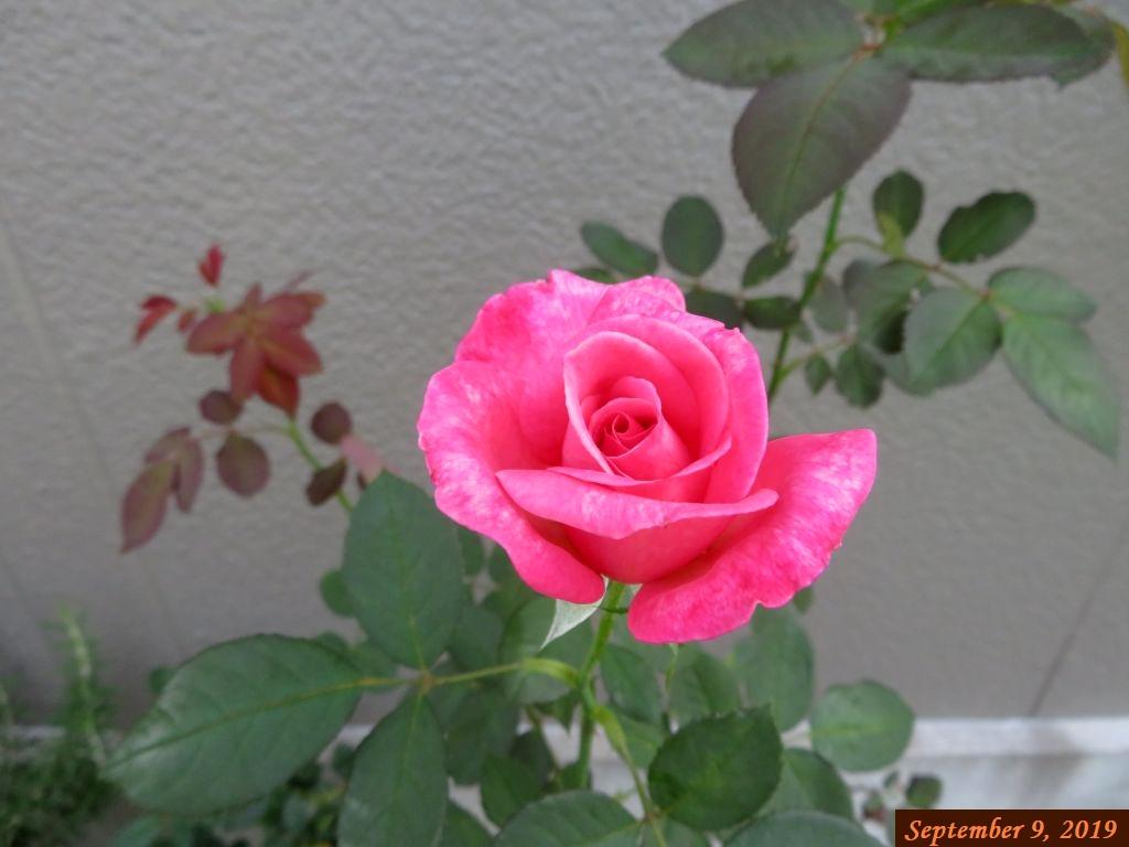 画像5(バラ)