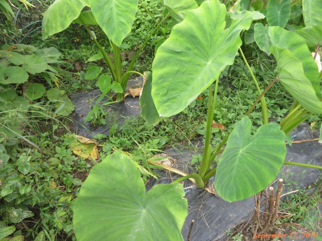 画像5(里芋の畝の周りの雑草)