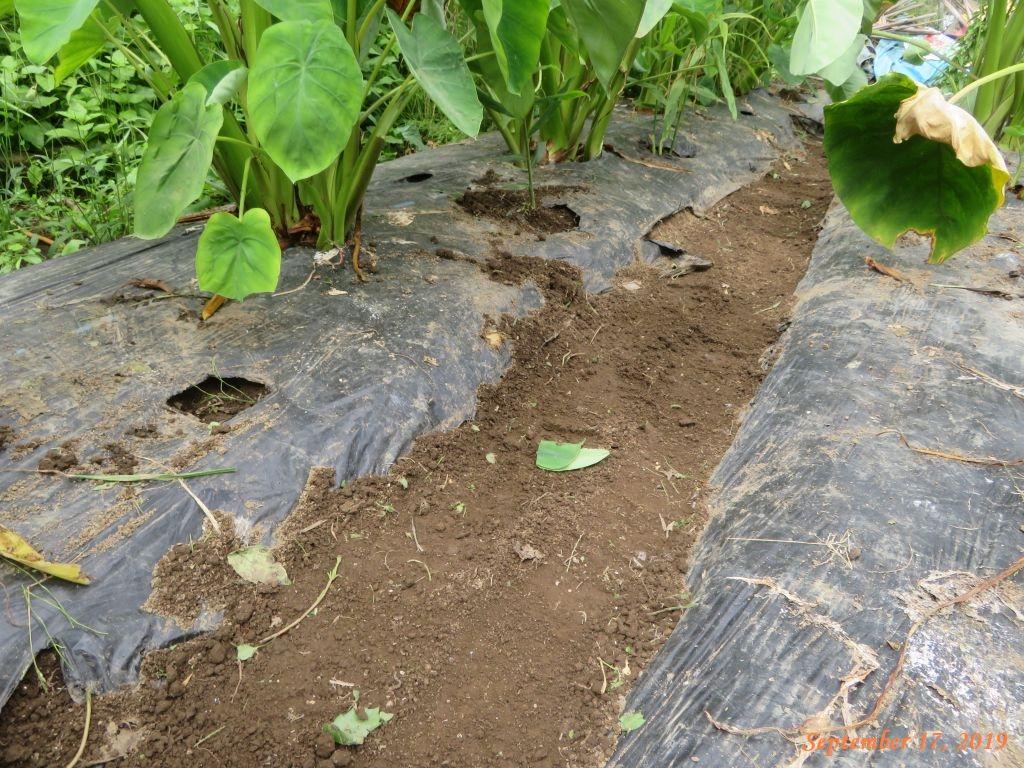 画像7(草取り後の里芋の畝)