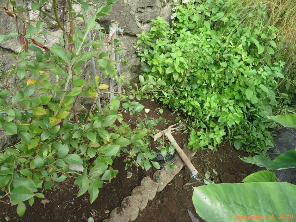 画像1(里芋の畝の周りの草取り)