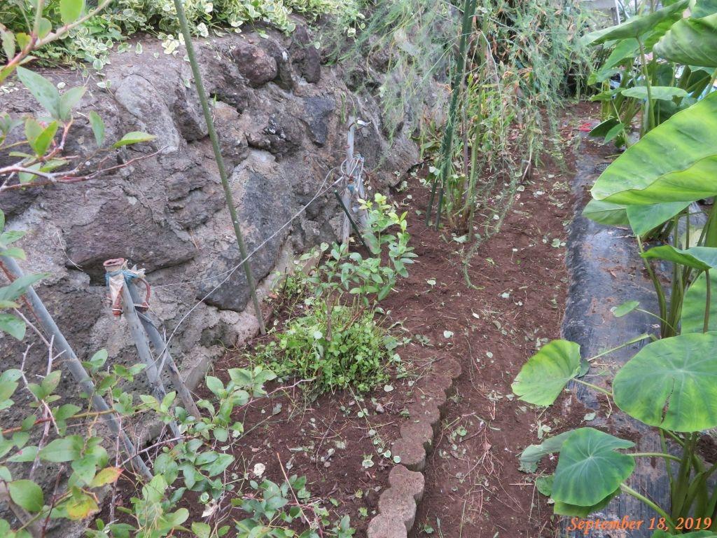 画像2(里芋の畝の周りの草取り)